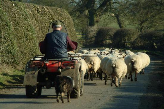 farmer herding sheep